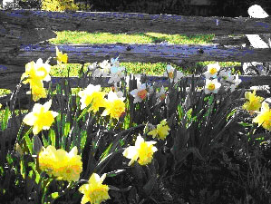 Learn more about Cape & Islands spring flower festivals