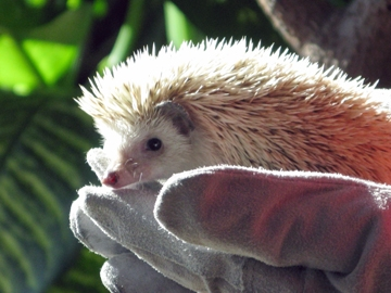 KCZoo Hedgehog