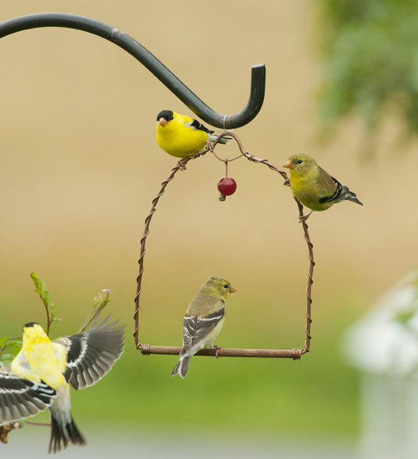 Kathy Millers 4 Goldfinches