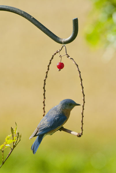 Kathy Millers Male Bluebird